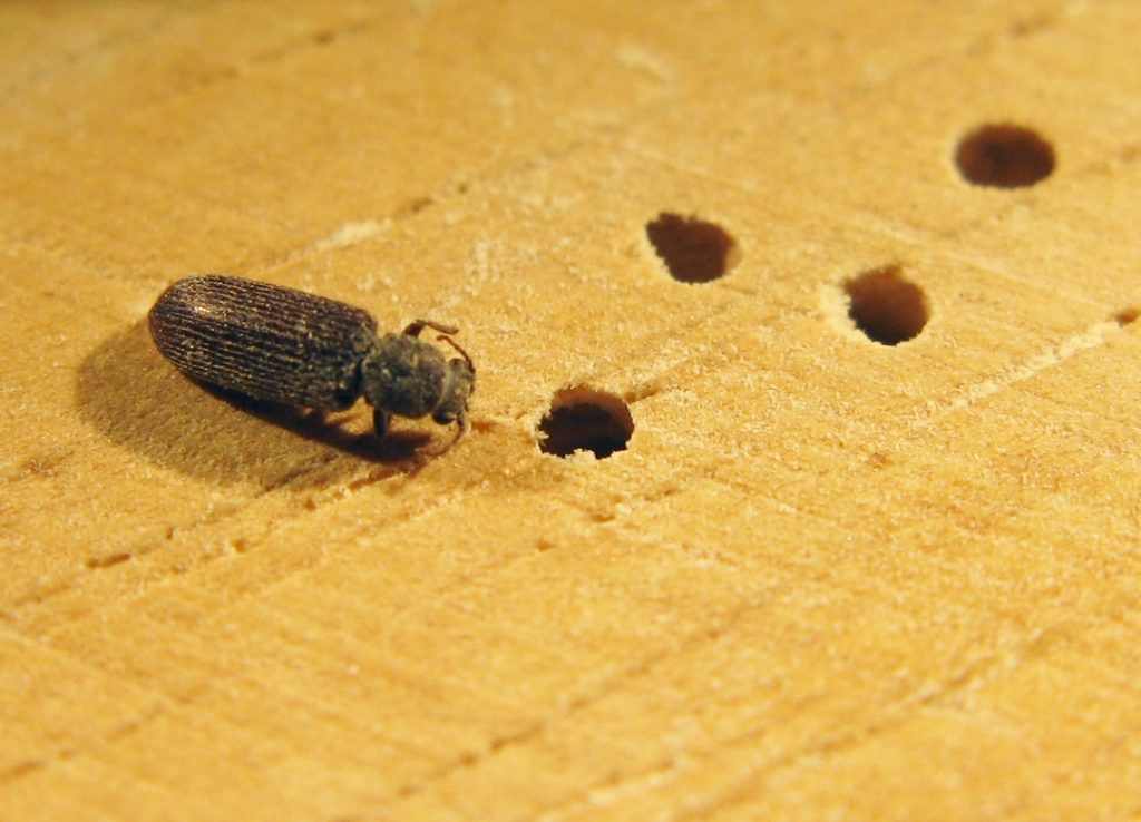 What Are Powder Post Beetles And How Can You Get Them Out Of Your